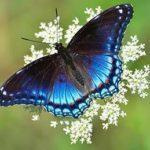 dentelle-reine-anne-papillon